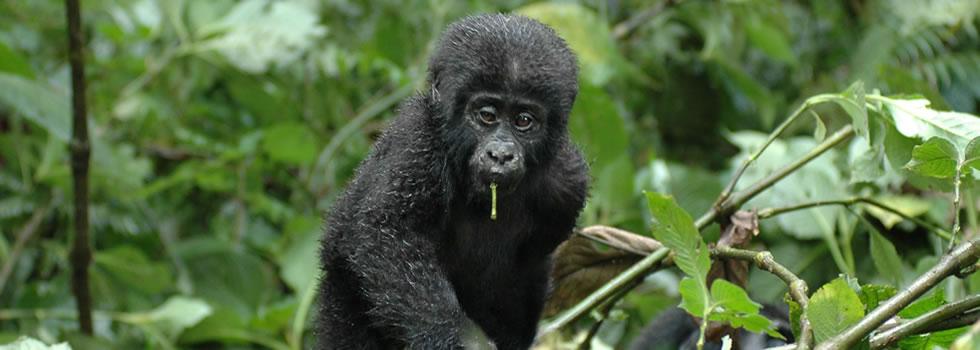 bwindi-gorilla1