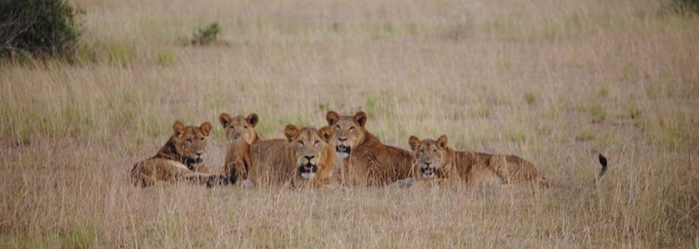lions-uganda1